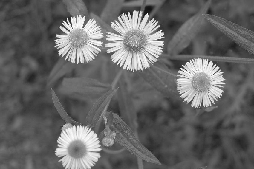 Ricoh GX100 Ricoh モノクロ 白黒 Flower Head Flower Close-up Plant
