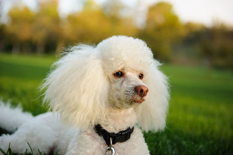 White Miniature Poodle dog outdoor portrait Groomed Poodle Animal Themes Clean Close-up Day Dog Domestic Animals Focus On Foreground Grass Mammal Mini Miniature Poodle Nature No People One Animal Outdoors Outside Pets Portrait White