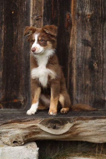 One Animal Mammal Animal Themes Animal Wood - Material Domestic Pets Domestic Animals Canine Vertebrate Dog Tree Day Log No People Sitting Timber Looking Wood Tree Trunk Puppy Australian Shepherd