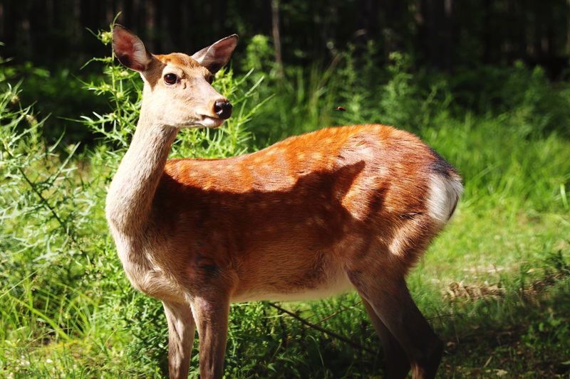 Bambi Bee Green Nature Japan Backgrounds Copy Space Animal Themes Animal Animals In The Wild Mammal Animal Wildlife Vertebrate One Animal Deer Land Field Nature Plant No People Herbivorous Domestic Animals Outdoors Brown Portrait Sunlight Day
