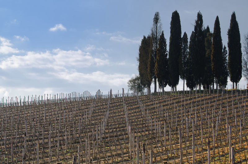 Vineyard by cypress trees against cloudy sky