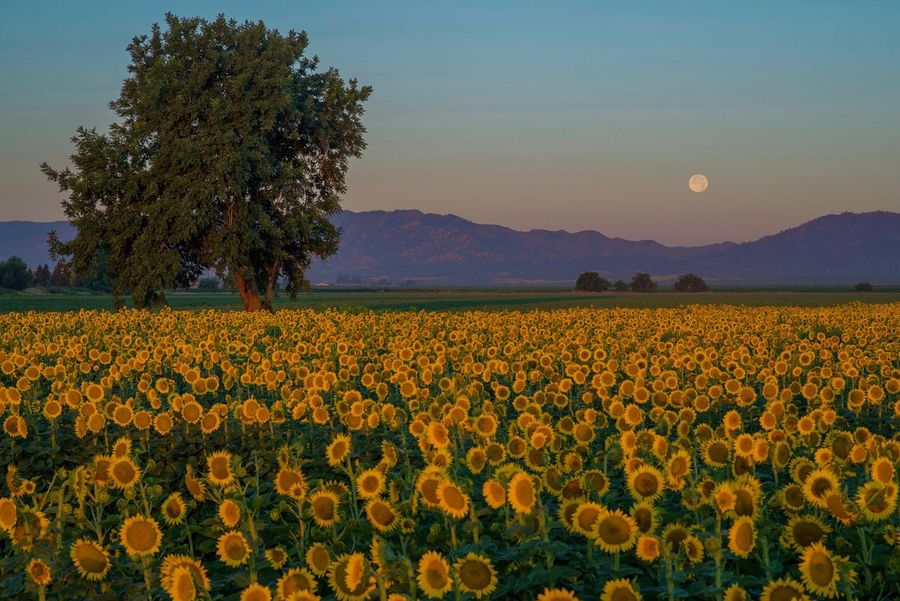 🌙 Over 🌻 California Dreamin Flower Beauty In Nature Nature Field Growth Landscape Scenics Tranquility Sky Agriculture Tranquil Scene Yellow Plant No People Outdoors Mountain Rural Scene Tree Mountain Range Fragility Sunflower