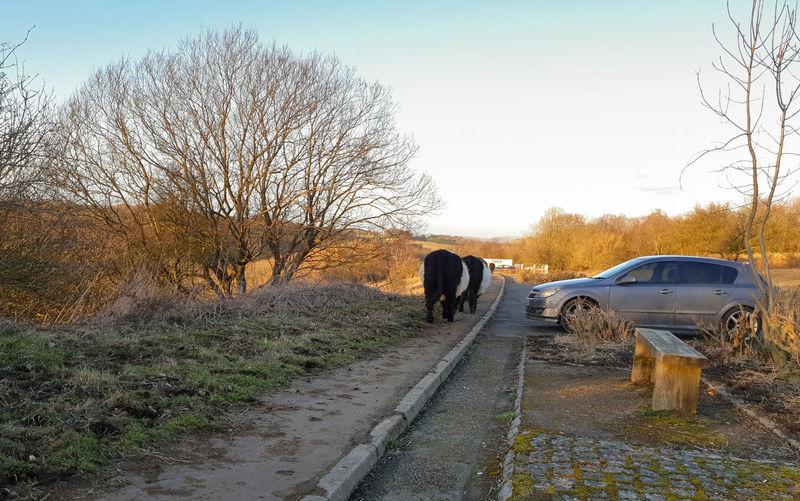 Car Day Mammal Sky Animal Cow Path