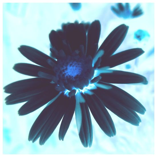 Flower Close-up Nature Flower Head Daisy Beauty In Nature EyeEm Nature Lovers Eyeemnaturelover EyeEm Nature Lover Nature Photography Nature_collection Naturelovers Inverted Colours Blue Lightitupblue Light It Up Blue Autism Autism Awareness