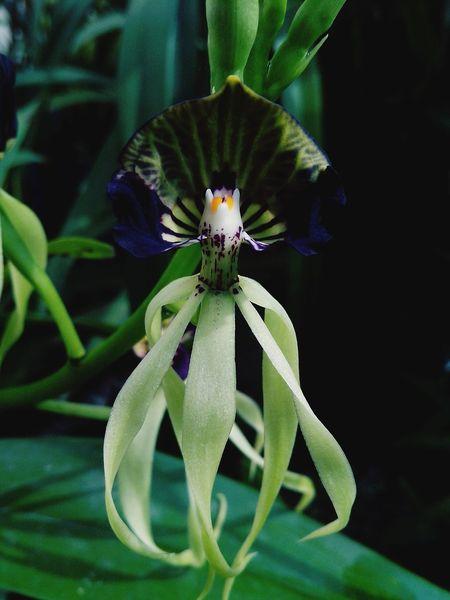 Un Bonjour de una bonita bailarina Orquideas Flowers