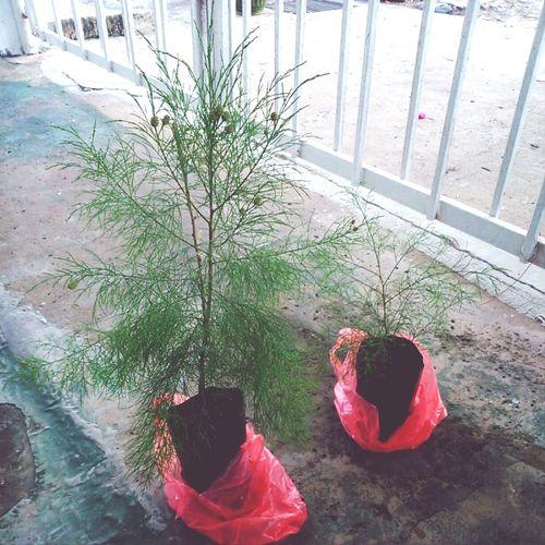 Pokok Ru Tree Plant
