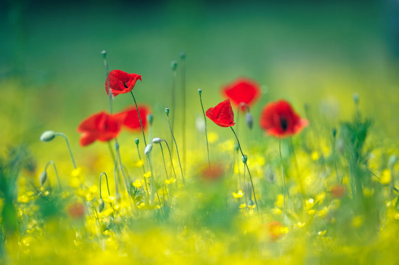 Pastel Beauty In Nature Close-up Field Flower Flower Head Fragility Freshness Grass Growth Nature No People Outdoors Plant Poppy Red Summer Wildflower