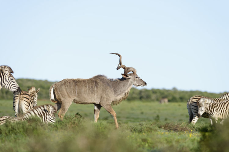 Safari animals standing on field against clear sky