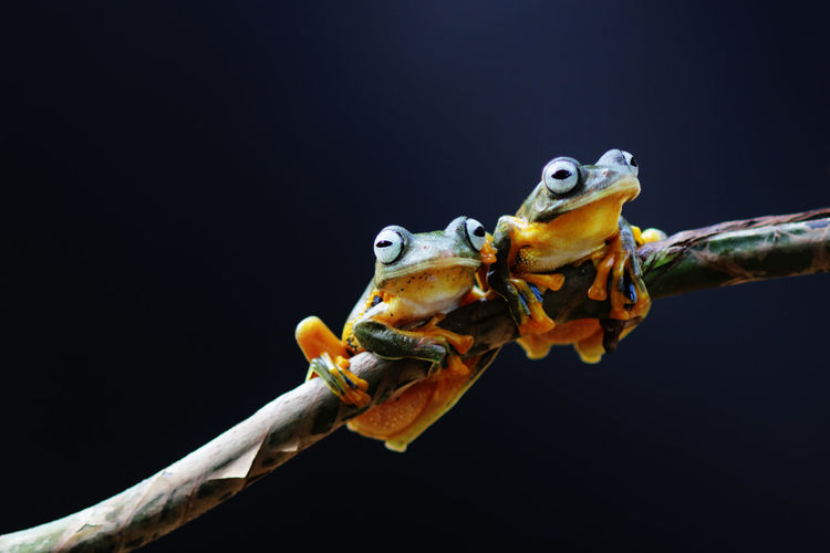 Wallace's flying frog, tree frog on a branch Animal Themes Animal Animal Wildlife Close-up One Animal Animals In The Wild Vertebrate Copy Space Studio Shot Nature No People Black Background Indoors  Focus On Foreground Reptile Amphibian Animal Body Part Frog Mouth Open Animal Eye