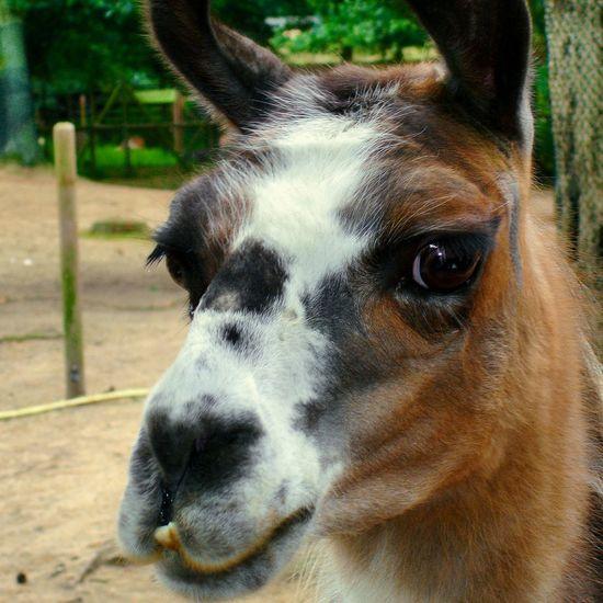 Close-Up Portrait Of Lama