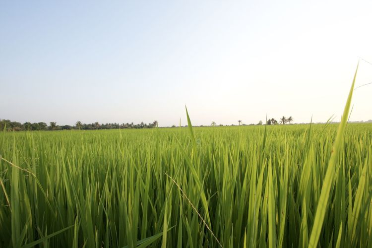 Crop on field against clear sky