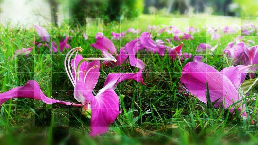 Flower Flower Head Pink Color Crocus Purple Close-up Grass Plant