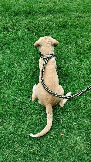 Dog Dog❤ Dog Love DogLife❤️🐶 Dogstagram Dogsofinstagram Labrador Beagle Beaglelemon  Amorperruno Amomiperro