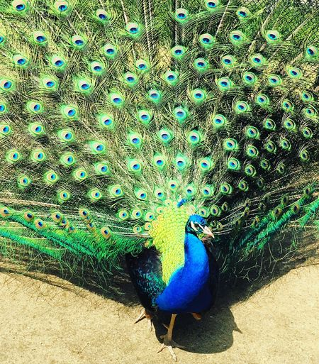 Another day at peacock island 😍 Peacock Peacock Feather Bird Animal Themes Beauty In Nature Peacockphotos Peacock Pfau Peacockisland Pfaueninsel Pfauenfeder Pfauenauge Peacock Colors Nature Animals In The Wild Beauty