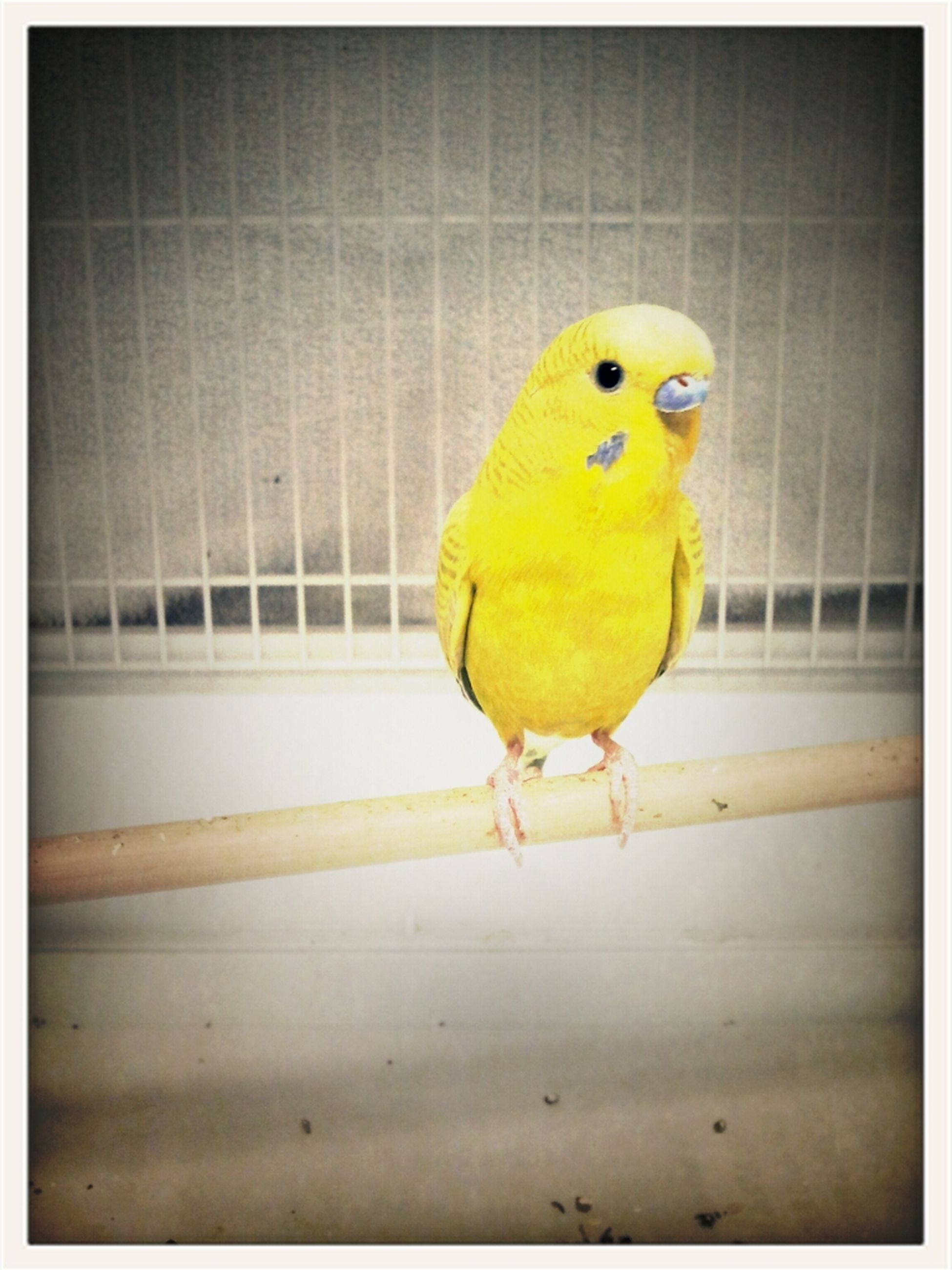 bird, yellow, animal themes, one animal, parrot, wildlife, animals in the wild, close-up, multi colored, beak, perching, transfer print, auto post production filter, front view, focus on foreground, full length, cage, day, no people, outdoors