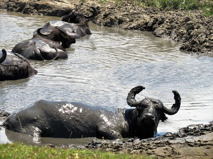 Animal Themes Animal Wildlife Animals In The Wild Animals In The Wild Bathing Beauty In Nature Buffalo Buffalo Curiosity Day Domestic Animals Horned Lake Leisure Time Looking At Camera Mammal Mud Nature No People Outdoors Safari Animals Swimming Trip Photo Water Water Buffalo