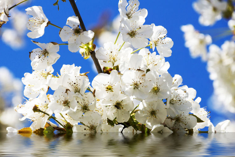 Cherry Blossoms with reflection in water, with sun and blue sky Sky Wellness Beauty In Nature Blossom Tree Blue Cherry Blossoms Day Fruit Blossom Growth Macro Nature Outdoors Reflection, Pattern In Water, Water, Ripples, Waves, Blue, Curvy Romantic❤ Season  Spa Spring Awakening Spring Flowers Sun Beatiful Day.. Springtime Sun Sunshine ☀