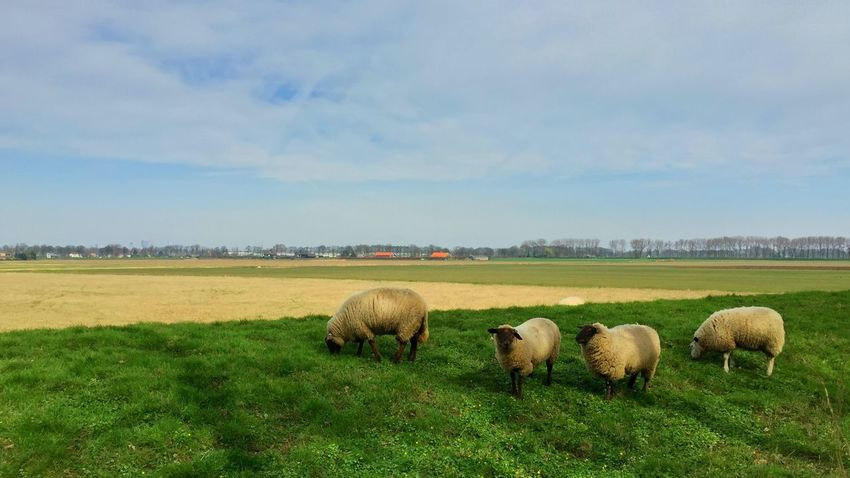 Grass Field Landscape Animal Themes Nature Sky Grazing Domestic Animals No People Mammal Green Color Outdoors Day Scenics Beauty In Nature Sheep Spring Springtime