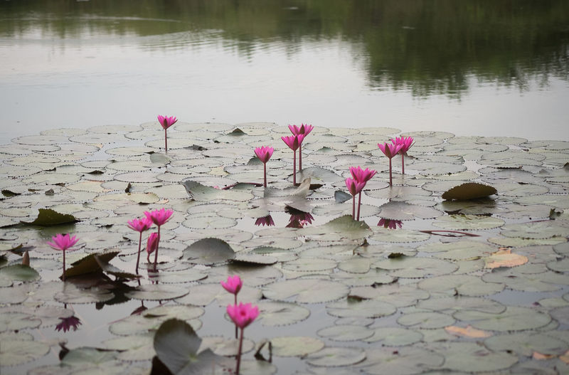 Pink water lily in lake