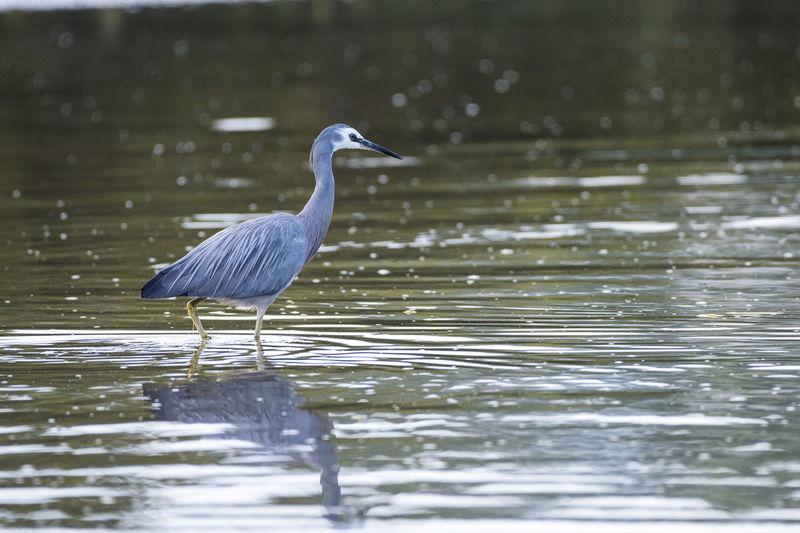 High angle view of gray heron by lake