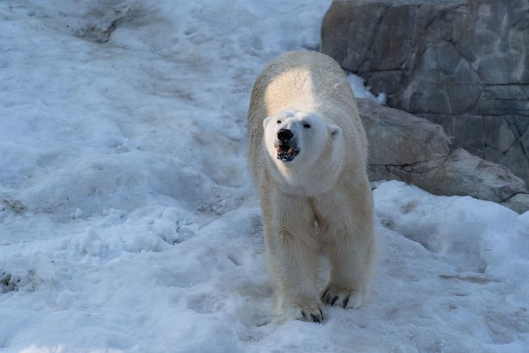 Animal Themes One Animal Snow Cold Temperature Animal Winter Polar Bear Animals In The Wild Mammal Vertebrate Bear Animal Wildlife Nature No People Ice Day White Color Looking At Camera Outdoors