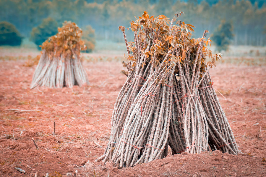 Brown Cassava Cassava Farm Close-up Day Field Focus On Foreground Food Food And Drink Forest Land Landscape Large Group Of Objects Log Nature No People Outdoors Plant Rural Scene Still Life Tree Wood - Material