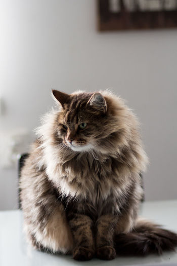 Close-up of maine coon cat sitting at home