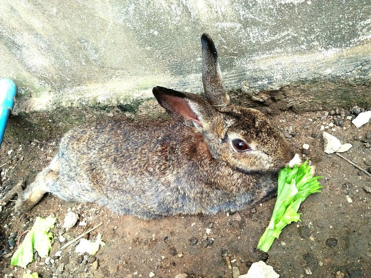 Rabbit one eating food High Angle View Day Fish Leaf Animal Themes Outdoors One Animal No People Sand Beach Nature Close-up Water Freshness Eye Rabbit Rabbit Face Cave Zoo Animals  Animals In The Wild Rabbitrocks Animal Mammal Brown Cute Rabbit ,bunny Rabbit - Animal