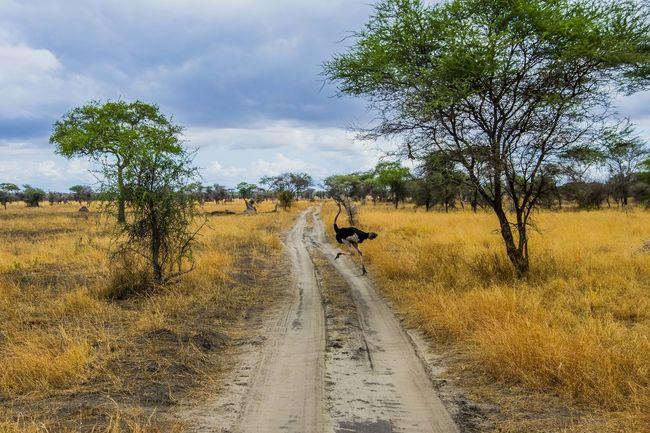 Ostrich Wildlife Photography Animals Tarangire National Park Safari Animals Tanzanianationalparks Tarangire Animals In The Wild Wildlife & Nature Animal Photography Nature Collection Safari Park Africa Wildlife Outdoors Tanzania Safari Animal