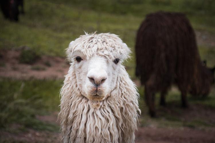Portrait of alpaca in peru