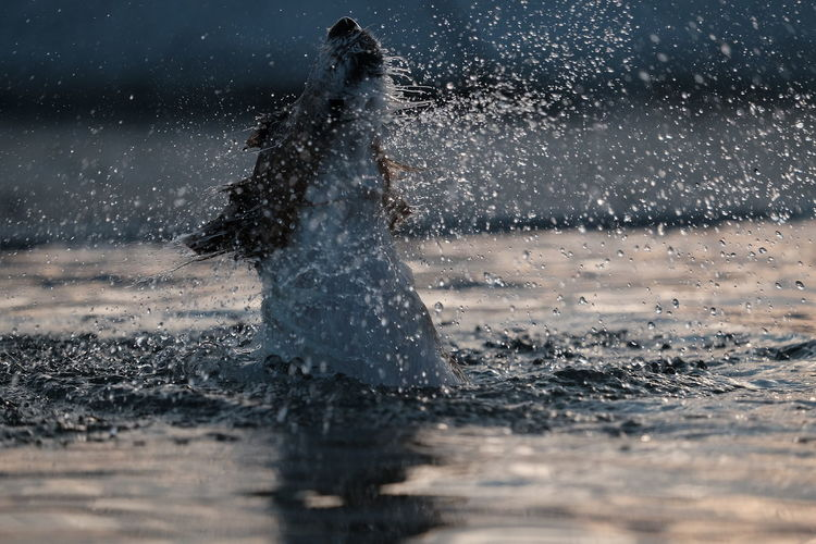 Side view of dog swimming in lake during sunset