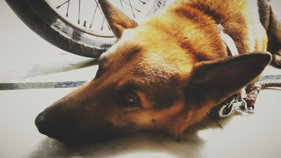 Pet Lover German Shepherd Sleepy At Home Perfect Click Animal Photography Dogs Of EyeEm Best Friends Love To Take Photos ❤ Eye Em Best Shots EyeEm Gallery Cool_capture_