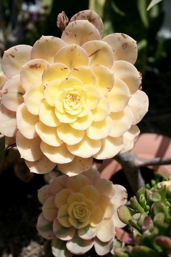 Close-up of rose blooming in garden