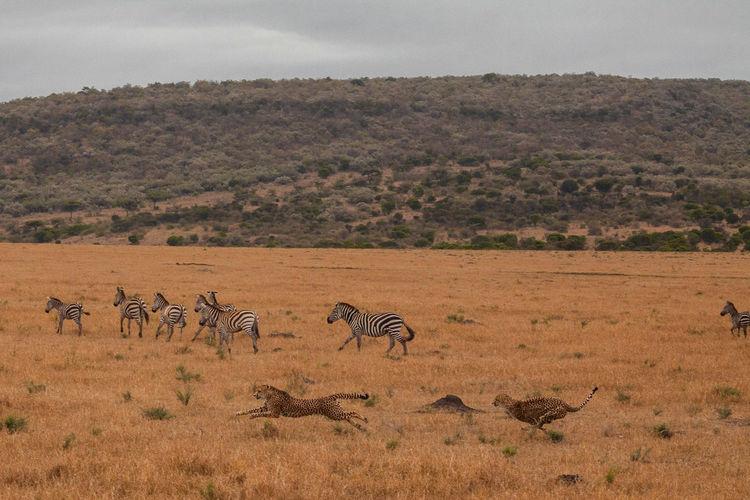 Kenya Masai Mara National Reserve Masai Mara Africa Safari Wildlife Animal Animals In The Wild Animal Themes Animal Wildlife Cheetah Large Group Of Animals Cheetah Run