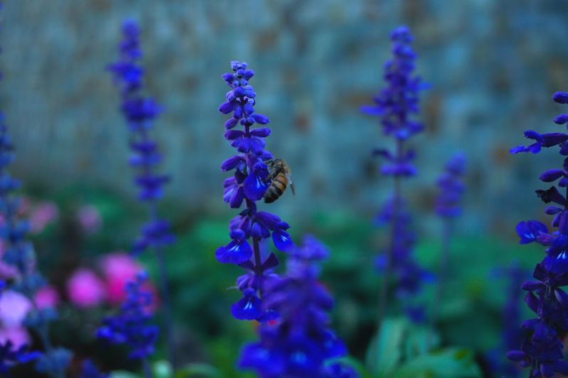 Getting that right time is a huge prize for any photographer. Bee Purple Purple Animal Wildlife Animals In The Wild Animal Animal Themes Plant Beauty In Nature Close-up Flower Invertebrate Nature Focus On Foreground Insect Freshness One Animal Growth