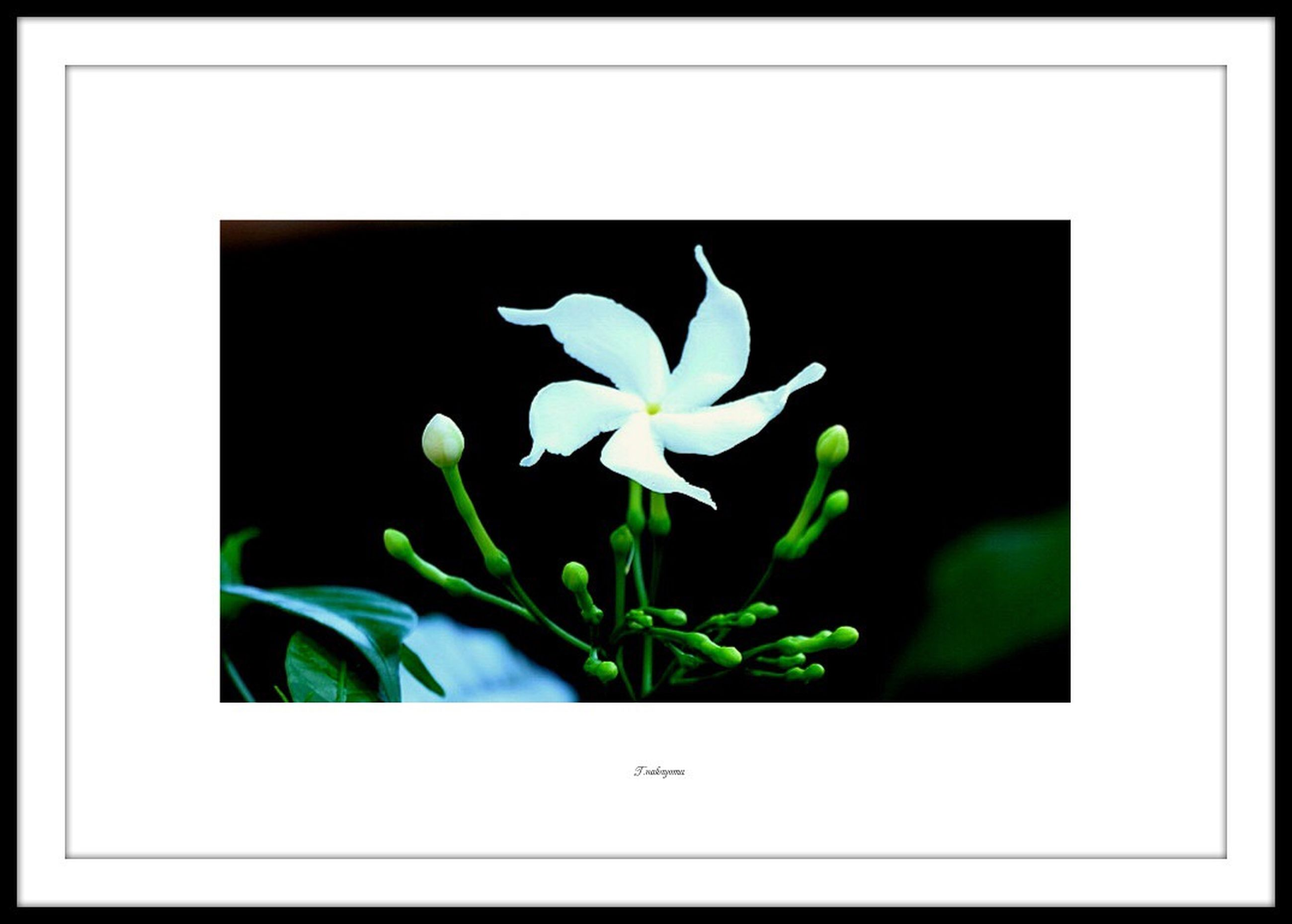 flower, transfer print, growth, auto post production filter, freshness, fragility, petal, beauty in nature, flower head, white color, plant, nature, leaf, copy space, close-up, studio shot, stem, blooming, green color, white