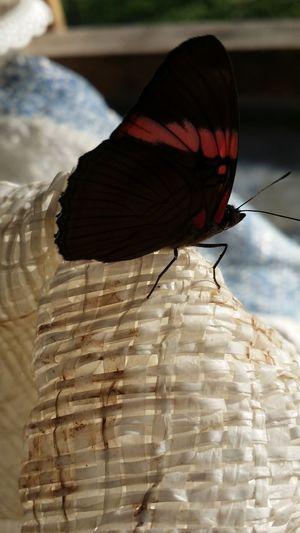Females Wings