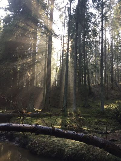Sunshine defeating darkness darkness and light Sunlight Stockholm Västerhaninge Sweden Nofilter Tree Plant Forest Land Sunlight Nature Beauty In Nature No People Day Outdoors Environment WoodLand Sunbeam Tree Trunk EyeEmNewHere