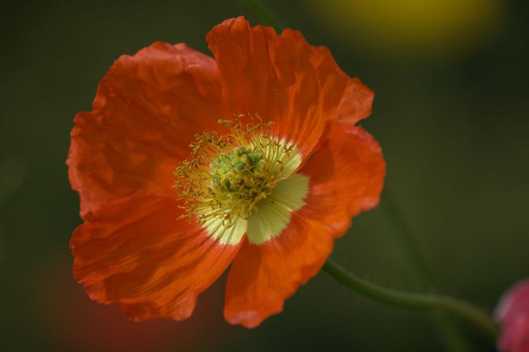 Close-up of orange poppy flower