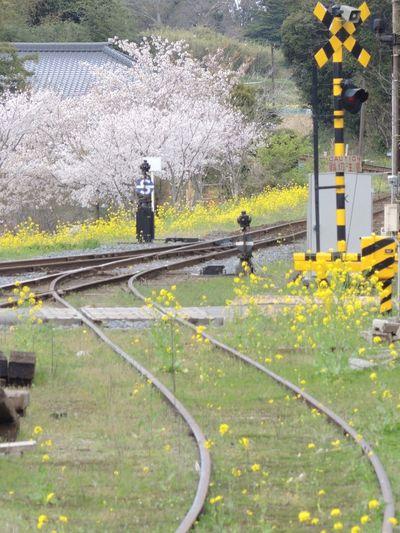 小湊鉄道 さくら 菜の花 Nikon P7700