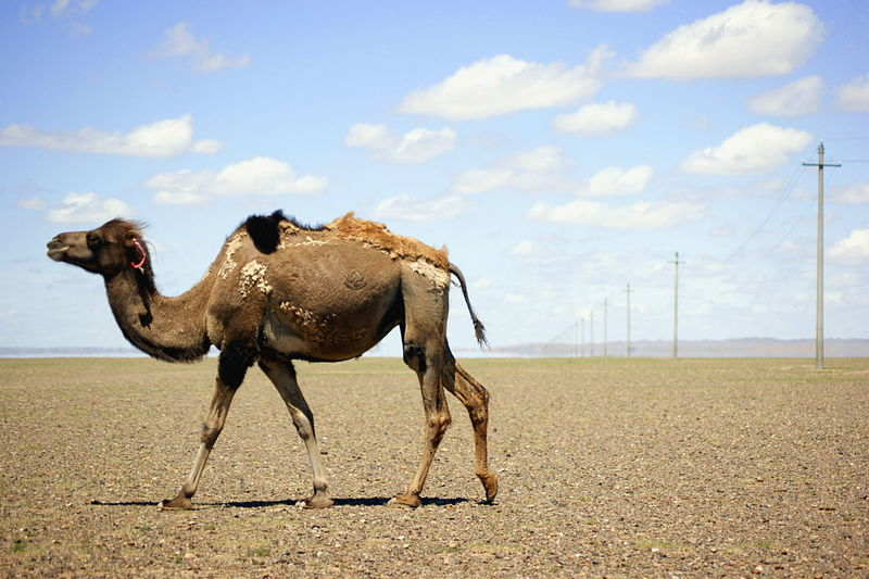 Gobi Desert Mongolia Animal Animal Themes Animal Wildlife Camel Cloud - Sky Day Domestic Animals Environment Herbivorous Land Landscape No People One Animal Outdoors Side View Sky Говь- Монгол улс