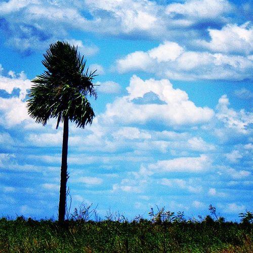 Copernicia Alba Karanday Palmera Granchaco Chacoparaguayo Chaco Landscape Clouds Cloud Naturelovers Nature_shooters Nature Nature_perfection Pantanal Paraguay Naturaleza Blue Sky Paraguay Great_captures_nature Great_captures_paraguay Great_captures_americas