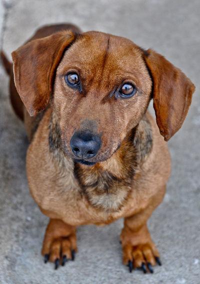 Portrait Of Brown Dachshund On Street