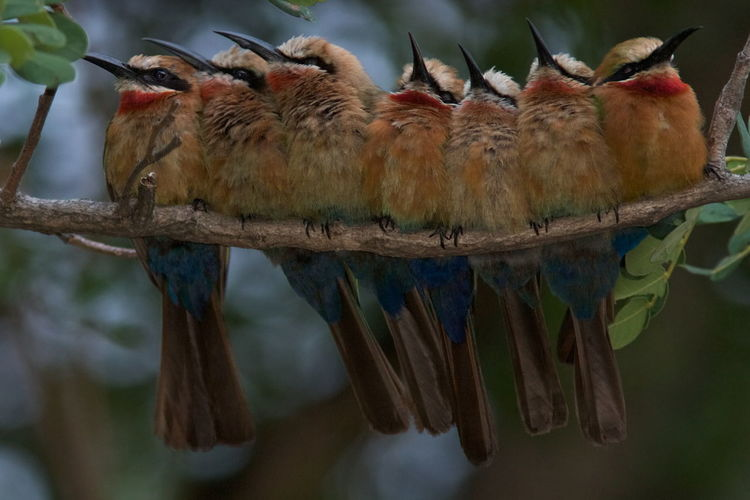 Close-up of bee-eaters perching on branch