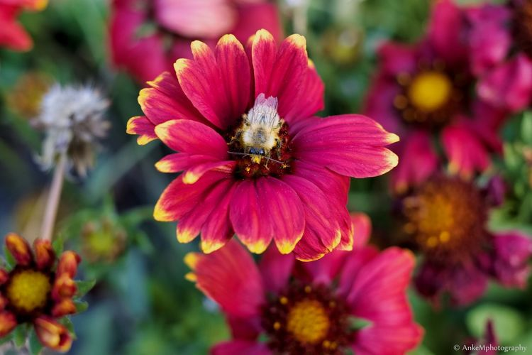 Diese Biene war so voller Pollen, das sie nicht weg fliegen wollte, konnte, hatte alle Zeit der Welt Suedaaanimal Fotografie Canon Canonphotography Flowers Tiere♡ Outdoor Schön Farbenfroh Blumen