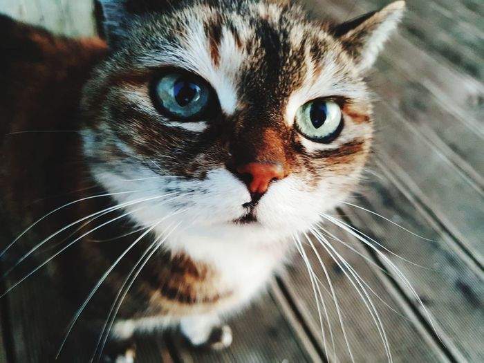 Cat EyeEm Selects Pets Portrait Looking At Camera Domestic Cat Feline Whisker Close-up Animal Eye Cat Animal Head  Animal Nose Animal Mouth