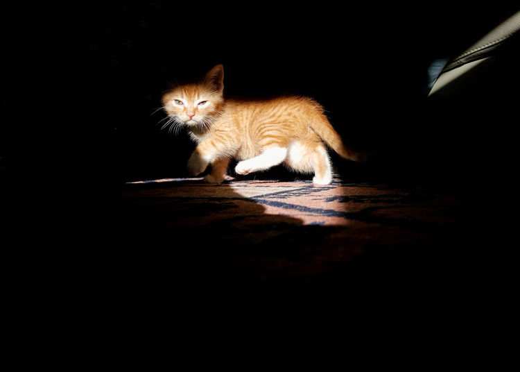 Animal One Animal Domestic Cat Pets Cute Black Background Shadow Tail Domestic Animals Portrait No People Animal Themes Indoors  Day Pet Portraits Kitten Light Effect Darkness And Light Light And Shadow Autumn Day Autumn Burning Red Cat Red Cat