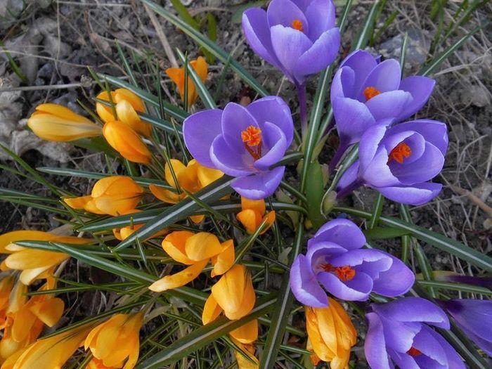Close-up of purple crocus blooming on field