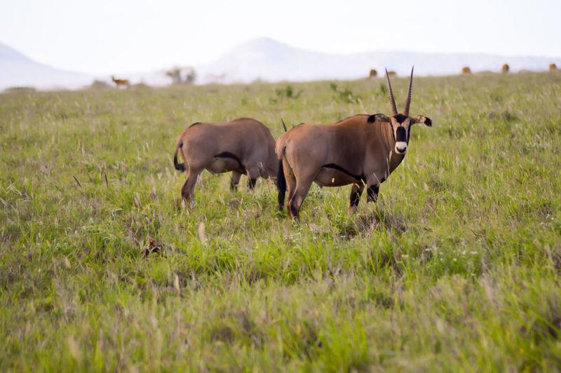 Oryx on grassy field