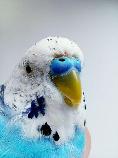Extreme close-up of blue budgerigar